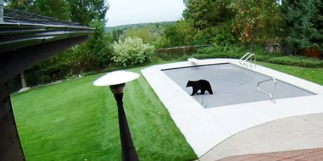 Are Our Pool Covers Bear Proof? You Bet!